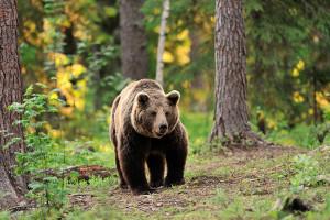medve(1)